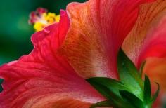 Hibiscus Edge