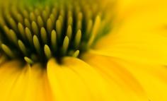 Echinacea Dream