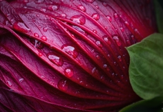 Hibiscus in Rain